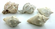 FIVE NATURAL ASSORTED CONCH SEA SPIRAL SEA SHELL 2 4/5 Inch to 3 Inch AS4