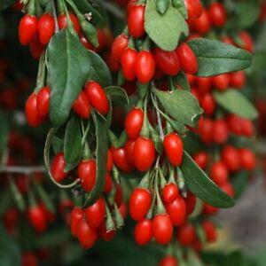 2x Goji Berry Plug Plants Garden Hardy Fruit - 24HR DISPATCH