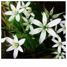Star of Bethlehem Ornithogalum umbellatum 2-bulb  winter hardy bulb plant