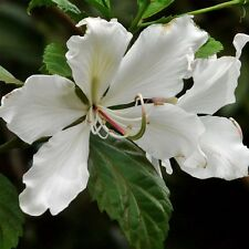 White Flowering Orchid Tree, Alba Bauhinia, well rooted in a quart container