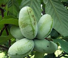 Paw Paw Trees Banana Fruit Asimina Triloba Outdoor Garden 2 Plants - Gallon Pot