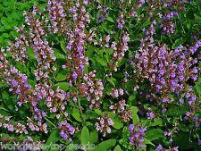 """Echter Salbei Salvia officinalis 50 exotische Samen """"ALLES NUR 1 EURO"""""""