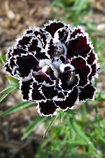 30 Black & White CHIANTI DIANTHUS Chinensis China Pink Flower Seeds *Comb S/H