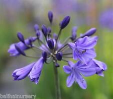 Nuevo Agapanthus Odessa Azul Oscuro Flores Excelente Planta De Jardinería