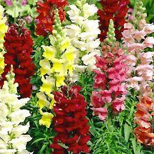 Snapdragon Magic Carpet Flower, 300 seeds,