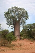 10 seeds of Adansonia za, Baobab Tree