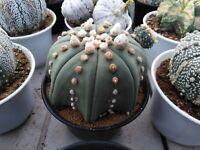 Astrophytum asterias Nudum サボテン Kaktus & Succulent  :  250 pcs.
