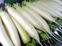 Daikon Japanese White Long Seeds white daikon Ukraine 1 g Farmer's dream
