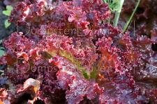 LOLLO ROSSA Organic Lettuce 200+ seeds Lolla  Vivid color Highly Frilled NON-GMO