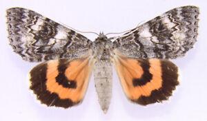 Catocala adultera aus Finnland