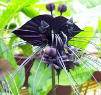 Black Tiger Shall Orchid Seeds Tiger Seeds Orchid Flower Seeds 50 Pcs/Bag