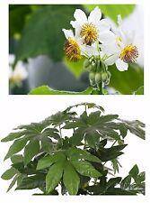 Zwei beliebte Zimmerpflanzen: die Zimmerlinde und die Zimmeraralie - Sonderpreis