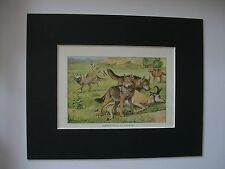 Wolves Coyotes Print Louis Fuertes Colored Bookplate 1919 Matted 8x10 Wolf