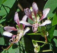 Bauhinia yunnanensis, corymbosa, Yunnan, Orchid Butterfly Climbing Vine, seeds