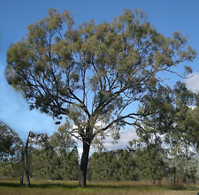 Narrow Leaf Ironbark Seed Tall Tree Drought & Frost Tolerant Koala Food Firewood