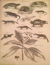 Mustela Genus Small Mammals Weasel Polecats Ferret 1806 antique engraved print