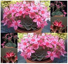 (20) TACITUS BELLUS - Graptopetalum bellum, Cactus Succulent SEEDS -  Comb.  S&H