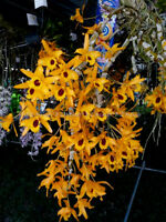 Dendrobium Chanthaboon Sunrise