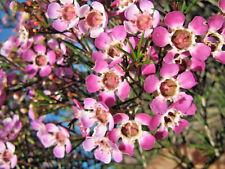 Chamelaucium uncinatum Purple Pride (Geraldton Wax) in 75mm supergro tube native