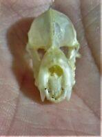 Real Intermediate Roundleaf Bat Hipposideros larvatus Skull FAST FROM USA
