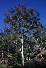 Grey Gum Seed Euc. major Koala Food Evergreen Coastal Tall Tree Heavy Frost