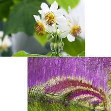 schöner Blauregen und faszinierende Zimmerlinde im Samen-Spar-Set !