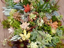 6  Beautiful Organic Succulent Plant Cuttings, all different. Quick Ship