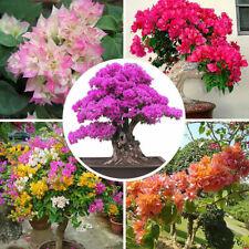 100 Bougainvillea Flower Seeds Mixed Multi-Color Perennial Home Garden Bonsai