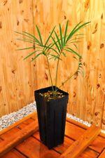 Cycas panzhihuaensis 3cm caudex, cold hardy, Encephalartos, cycad