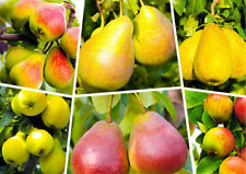 50 Pear Tree Seeds Pyrus Sweet Tropical Perennial Fruit Bonsai Plant in Garden