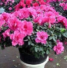 20 Semillas de Rhodondendron (Western rhododendron seeds)