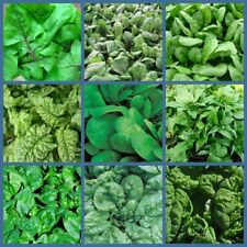 100 Spinach Vegetable Seeds Spinacia 10 Kinds Healthy Delicious Organic Plants