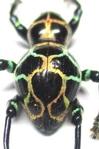 H002 EL : AU : Pachyrrhynchus reticulatus ssp.? male 13.5mm geo color form