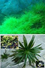 Quellmoos + Teichaloe Set Teichpflanze Pflanzen Deko für den Teich Teichpflanzen