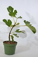 "Chicago Edible Fig - 4"" Pot Mature Edible Fruit GIFT Holiday Easy to Grow Hardy"