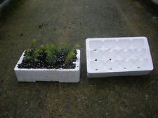 12 x Norway Spruce Seedlings and 12 x Norway Spruce Seeds inc. 2 Growing Trays.