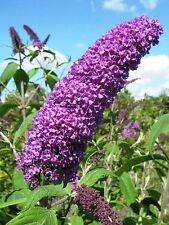50 VIOLET PURPLE BUTTERFLY BUSH Buddleia Davidii Flower Seeds + Gift & Comb S/H