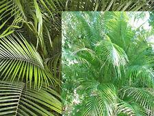 LYTOCARYUM WEDDELLIANUM - FRESH! Miniature Coconut Palm- Perfect indoor Palm