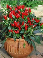 Pepper Serrano Chile Nice Fresh 30 Seeds Free Ship!