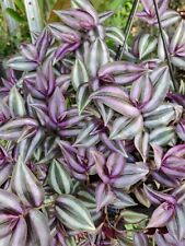 Wandering Jew Cuttings (12 pcs & 6-7 inches) Tradescantia Zebrina House Plant