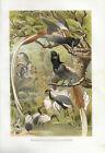 Paradiesfliegenschnäpper Lithographie 1891 - Altes Bild Druck Print Vogel Bird