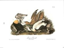 Eider Duck Vintage Bird Print by John James Audubon