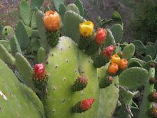 "1 talea"" ""Opuntia Ficus Indica""  Cutting lunga dai 20/25 cm"