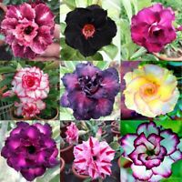 Mixed Color Desert Rose Seeds to Grow | 10 Seeds | Adenium Obesum,10 Seeds
