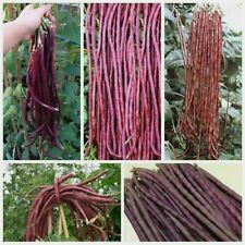 Thai Purple Podded Yard Long Bean Seeds -GREAT TASTE- COMBINED S/H