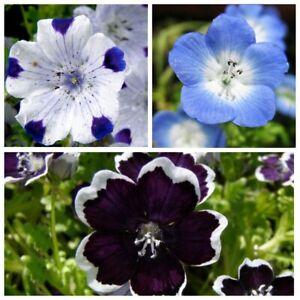 Seeds Nemophila White Blue Flower Beautiful Balcony Annual Garden Cut Organic