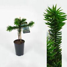 Araucaria araucana,Chilenische Schmucktanne,Andentanne,Affenschwanzbaum