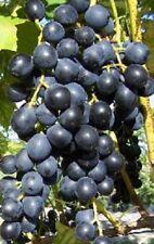 Vitis vinifera Muskat Blue blau Weinrebe Tafeltraube Wein Weintraube Winzersorte