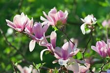 Stunning Magnolia 'Soulangeana' In 2L pot 1-2ft Tall, Large Beautiful Flowers