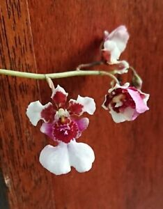 Orchid Tolumnia Irene Gleason 'Snow Fire' x David Butcher  In Flower